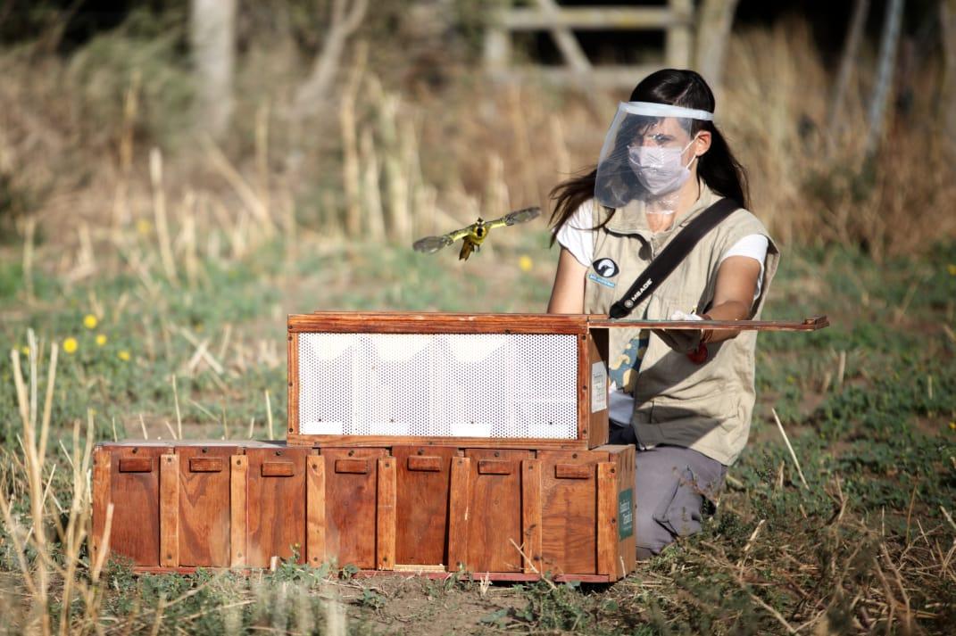El Ministerio de Ambiente nacional liberó cardenales amarillos rescatados del comercio ilegal de fauna